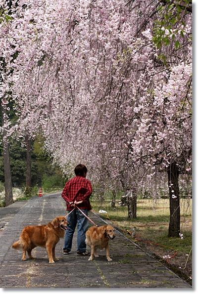 4,20枝垂桜2