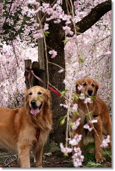 4,20枝垂桜8
