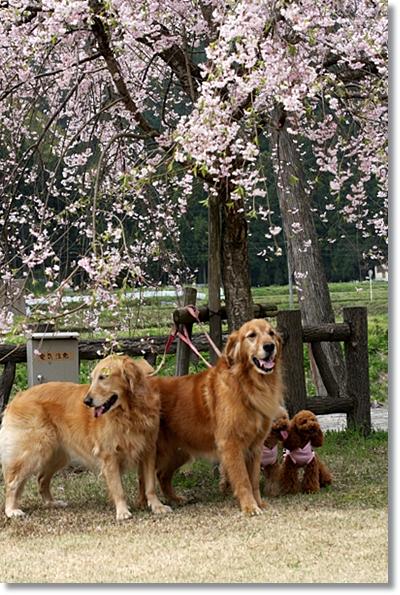 4,20枝垂桜10