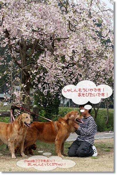 4,20枝垂桜9