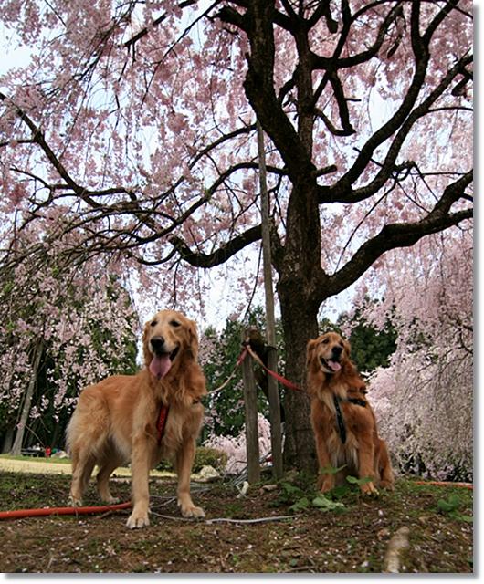4,20枝垂桜15