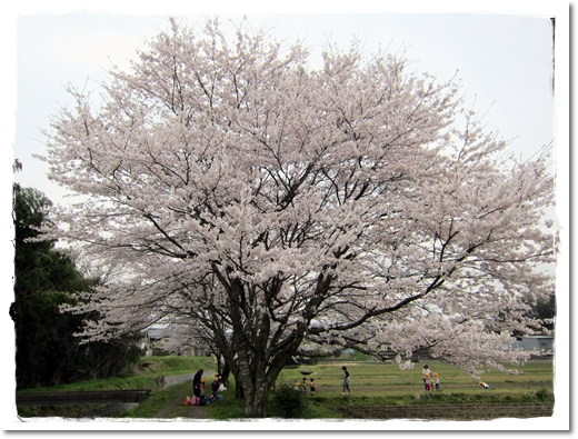 2012・4・13・弘法川のさくらー1