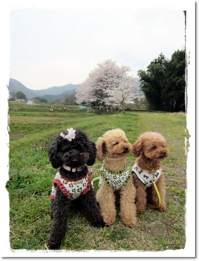 2012・4・13・弘法川のさくらー2
