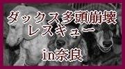 ダックス多頭崩壊レスキュー in奈良