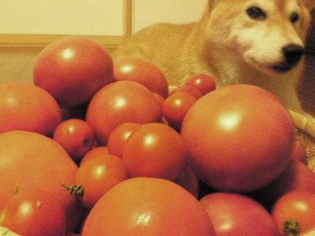 tomato3-1.jpg