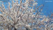 20120408-Sakura.jpg