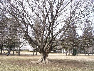 ハゲちょびんの大木だー!
