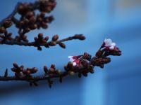 早咲き桜20120202_03tr