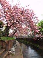 桜・二ヶ領用水20120419_13tr