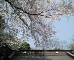 神社の桜3