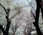 神社の桜4