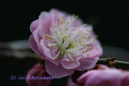 2月29日の梅の花
