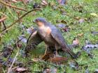 250px-Sparrowhawk-Male.jpg