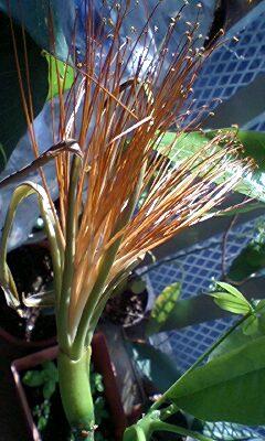 パキラの花1