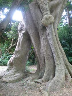kakeroma-tree1.jpg