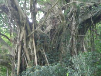 kakeroma-tree10.jpg