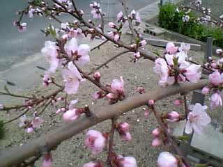09-03-28_桃の花15-16