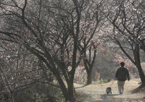 冬桜トンネル