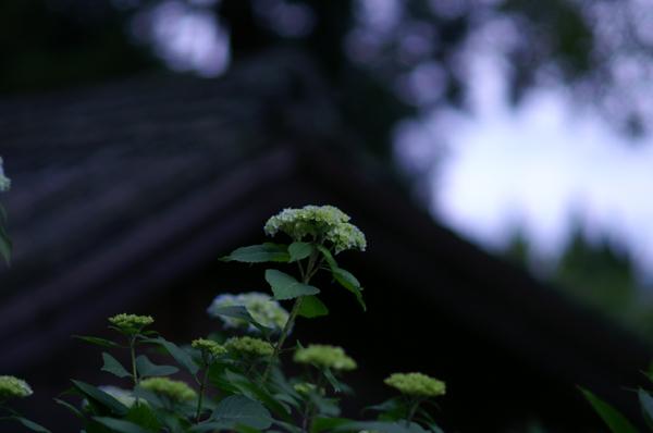 吉備津神社のあじさい