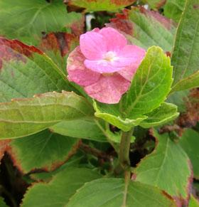 azisai2011-10.jpg