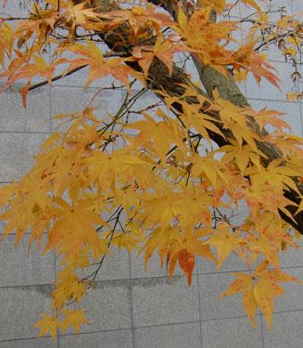 momizi-kiiro2011-12.jpg