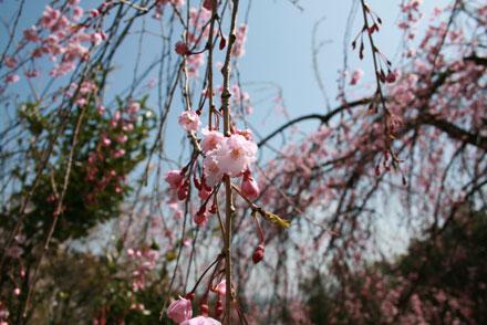 sidaresakura2012-4.jpg