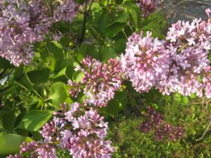 0516 006 ライラックの花