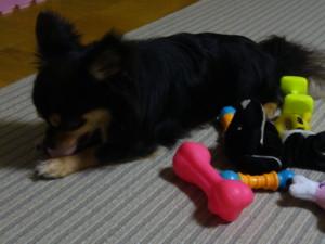 0606 006 マロンはおもちゃで遊ぶ