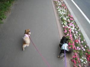 0629 020 01 散歩中マロくる