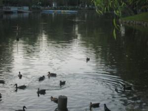0806 005 池にカモがいっぱい