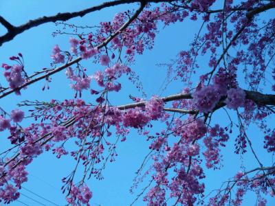 P1000434枝垂れ桜