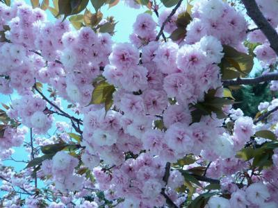 P1000461 八重桜