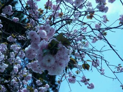 P1000463 桜餅の葉