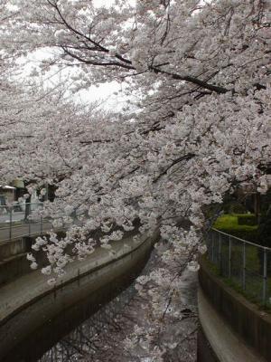見沼桜01
