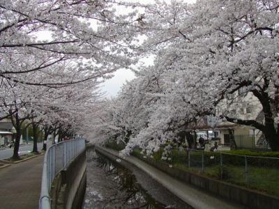 見沼桜02