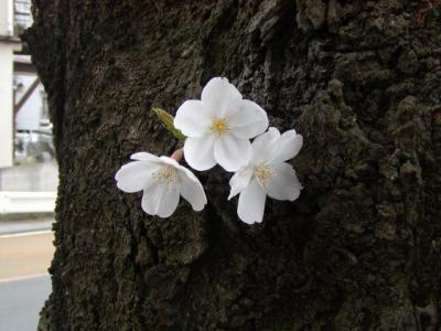 見沼桜03