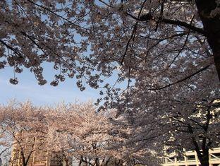 通勤路桜4-10 (4)