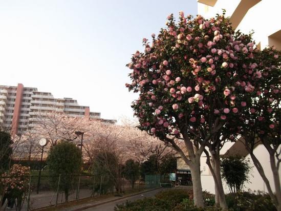 通勤路桜4-9 (32)