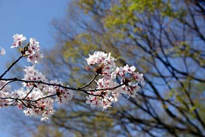 いたち川 桜