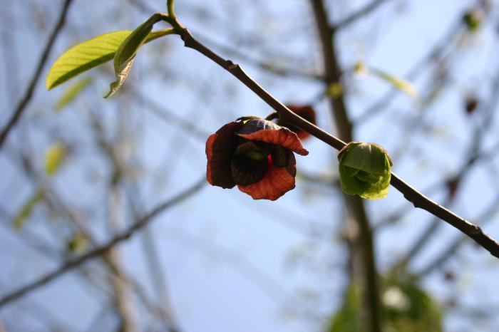 ポポロの花