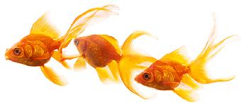 080715金魚