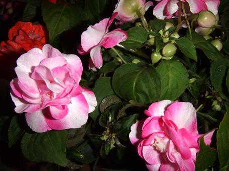 2009_04192009・4・19 藤の花0016