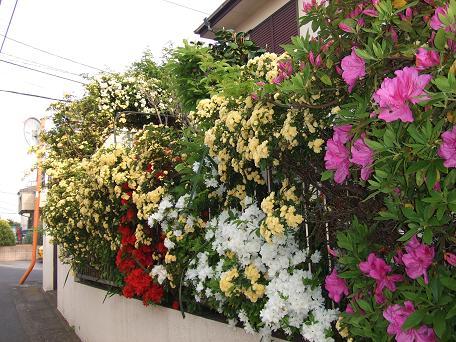 2009_04192009・4・19 藤の花0026