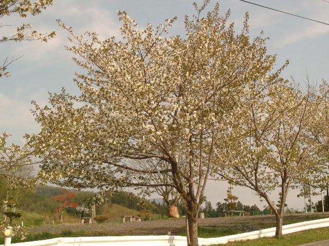 21.5.4-6桜