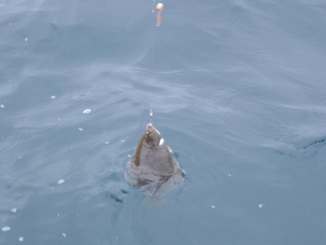 陸奥湾カレイ釣り21.6.14-31