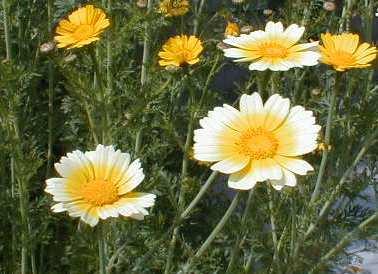 春菊の花 2009.5.2