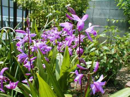 紫蘭 2009.5.6