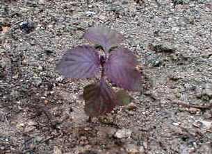 シソの苗定植 2009.5.10