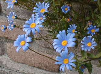 ブルーデージー 2009.5.14