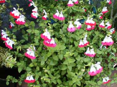 2色咲きチェリーセージ 2009.5.14